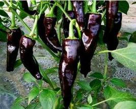 Organic Heirloom RARE 5 Seeds Chili Black Deep Purple Pepper Garden Vege... - $9.12