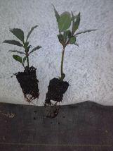 Bay Laurel live plant - Laurus nobilis - 'Bay Leaf Tree' - Garden -free ... - $47.99