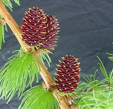 276 pcs/pkt Western Larch Tree Seeds For Planting - $25.74