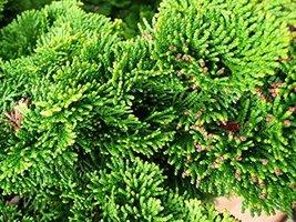 275 pcs/pkt American Arborvitae Tree Seeds For Planting - $24.75