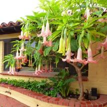 100PCS Rare Datura Seeds Brugmansia Suaveolens Flamenco Beautiful Mandal... - $5.12