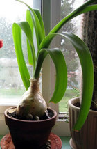 "2"" Pregnant Onion Plant - Ornithogalum caudatum Bulb - $16.99"