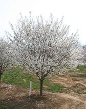 Snowgoose Flowering Cherry Tree image 3
