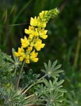 Lupinus densiflorus YELLOW LUPINE 200 seeds - $22.99