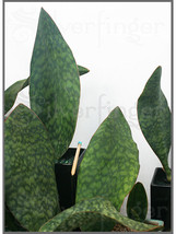Sansevieria Masoniana — Masons Congo Paddle : Leaf+Roots Robust Healthy ... - $25.71