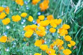 Poppy California Yellow Non GMO Heirloom Flower Garden Seeds Sow No GMO®... - $1.97+