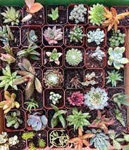6 or 9 Succulent Plants, Fully Rooted in Planter Pots with Soil - Real Live Pott image 1