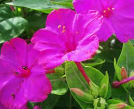 20pcs Very Enchant Mirabilis Jalapa Purple Four O'clock Perennial Flower Seeds - $14.90