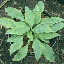 "2.5"" pot 1 Live Potted Plant hosta Picasso small rare unique disease Eas... - $48.99"
