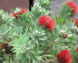 Plant callistemon    little john    dwarf bottlebrush  it s not seeds  02 thumb155 crop