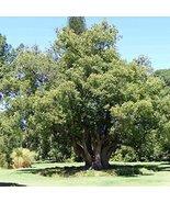 20 Seeds of Camphortree / Cinnamomum Champora - $12.87