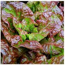 Sow No GMO Lettuce Prizehead Leaf Lettuse Leafy Greens with Hints of Red... - $4.92