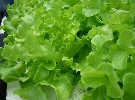 NEW.1pcs Lettuce Seeds Green Oak Organic Vegetable Bulk Seed - $5.50