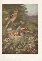 VINTAGE BIRD PRINT ~ CHAFFINCH MALE FEEDING YOUNG AT NEST WITH HEN - $28.85