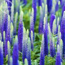 Best Price 50 Seeds Blue Veronica Spicata,Diy Flower Seeds E3725 Dg - $4.99