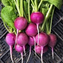 200 Purple Plum Radish Seeds 2019 (All Non-Gmo Heirloom Vegetable Seeds!) - $5.92