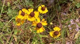 Organic Native Plant, Purple-headed Sneezeweed, Helenium flexuosum - $3.50