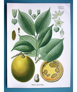 ST. IGNATIUS BEAN Medicinal Strychnos Ignatii - Beautiful COLOR Botanica... - $26.01