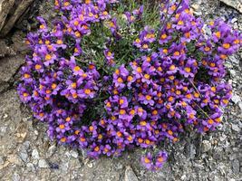 Alpine Toadflax | Linaria Seeds | Linaria Alpina Seeds | 10 seeds - $12.84