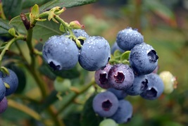 4 Blueberry Fruit Plants Farthing Southern Highbush Four Plant TkGkMall - $70.00