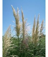 White Pompas Grass Big Healthy 1 Gal. Plant Large Easy to Grow Landscape... - $95.94