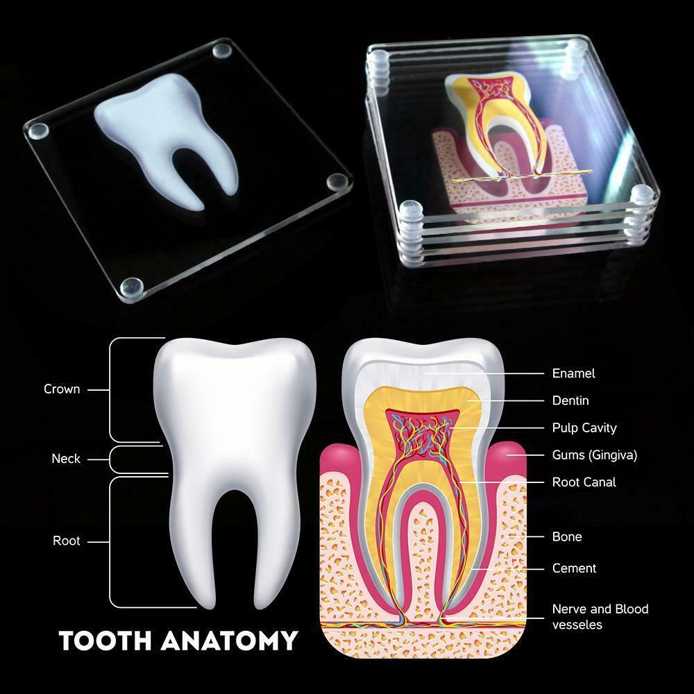 Primary image for Anatomic Tooth Slice Specimen Acrylic Square Beverage Coasters