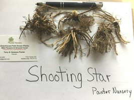 Shooting Star 5 bulb/roots perennial image 2