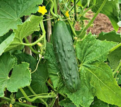 SHIP From US, 300 Seeds Spacemaster Bush Cucumber, DIY Healthy Vegetable AM - $51.99