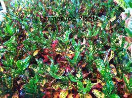 "CROTON - RED BATIC - LIVE PLANT - 3"" POT - 1 PLANT - MULTI COLOR - $9.80"