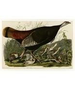 Audubon - Wild Turkey - Plate 6   Self-Adhesive Vinyl Wallpaper - $69.99+