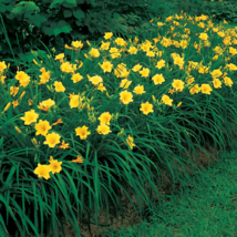 Stella de Oro Daylily 10 fans/roots re-blooming yellow blooms image 2