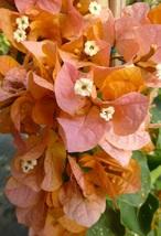 Live Plant Bougainvillea 'Rainbow Gold' Flower  - $29.90