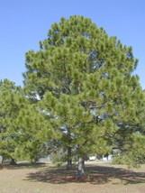 20 Loblolly Pine, Pinus taeda, Tree Seeds (Fast, Evergreen) - $10.99