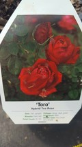 Toro Hybrid Tea Rose 2 gal Red Live Bush Plants Shrub Plant Fine Roses - $44.50