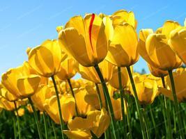10pcs/pack Tulip Bonsai High-Grade Flower Bonsai Most Beautiful gold - $1.99