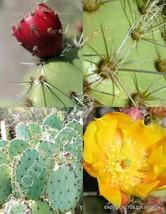 Opuntia Littoralis, edible sprawling cactus coastal pricklypear seed - 20 SEEDS - $6.79