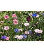 Non GMO Bulk Cornflower/Bachelor Button Seeds -Tall Mix Centaurea cyanus (25 lbs - $559.35