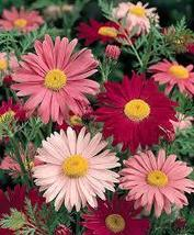 250 mg Seeds - Robinson's Blend Painted Daisy Seeds - Perennial HH01 - $11.99