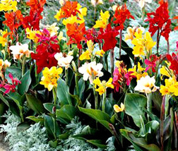 10 Seeds of Canna Large Flowered Hybrids Annual Seeds - $29.90