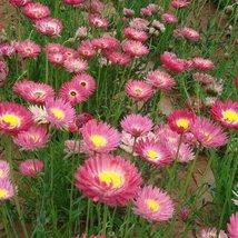 50 seeds Paper Daisy Rose, Beautiful Helipterum Roseum Rose - $6.93
