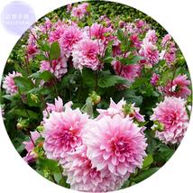 Best Price 50 Seeds Pink Red Dahlia Flower,Diy Flower Seeds E4158 Dg - $4.99