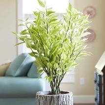 Live Devil's Backbone Pedilanthus tithymaloides Succulent Plants Variegated - $17.89