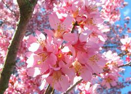 2 Okame Flowering Cherry Tree - $11.99