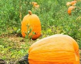 5 Variety Smooth Skinned Pumpkin Jack o Lantern Fresh Seeds #TLM1 - $15.99+