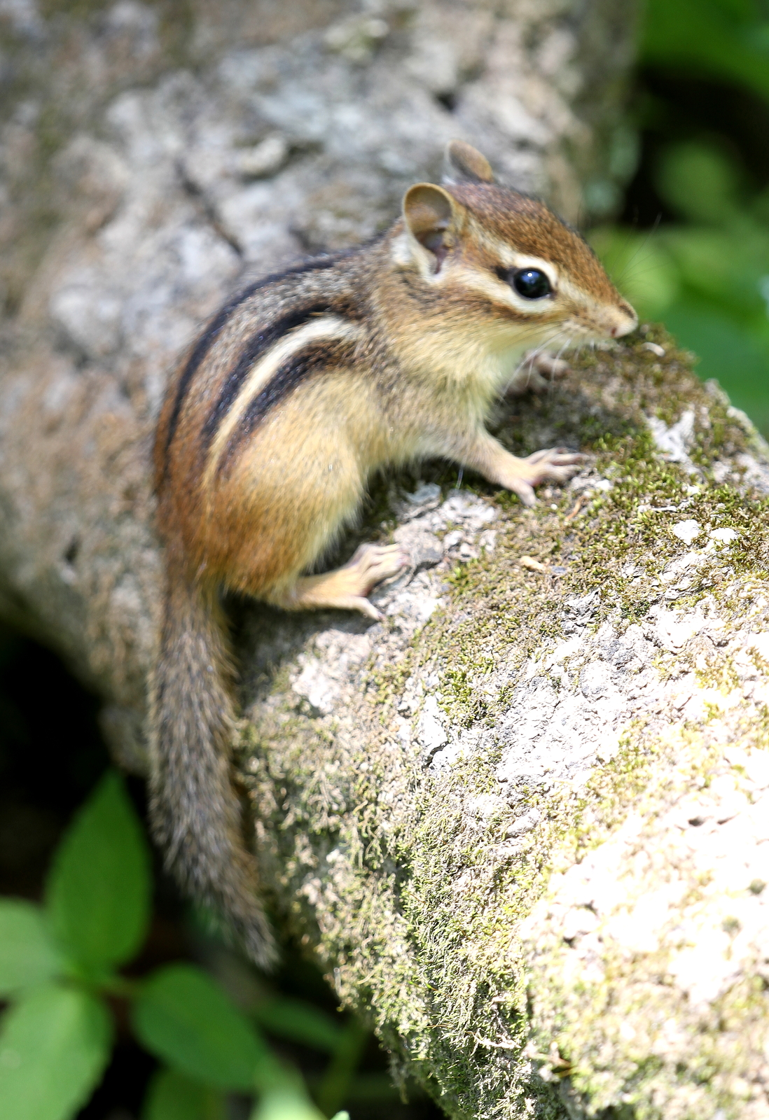 Primary image for Chipmunk 13 x 19 Unmatted Photograph