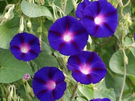 Morning Glory Grandpa Ott. 2 grams, or 40 seeds - $14.00