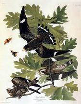 Audubon Night Hawk Bird Art Print - 7 in x 10 in Unmatted - $4.99