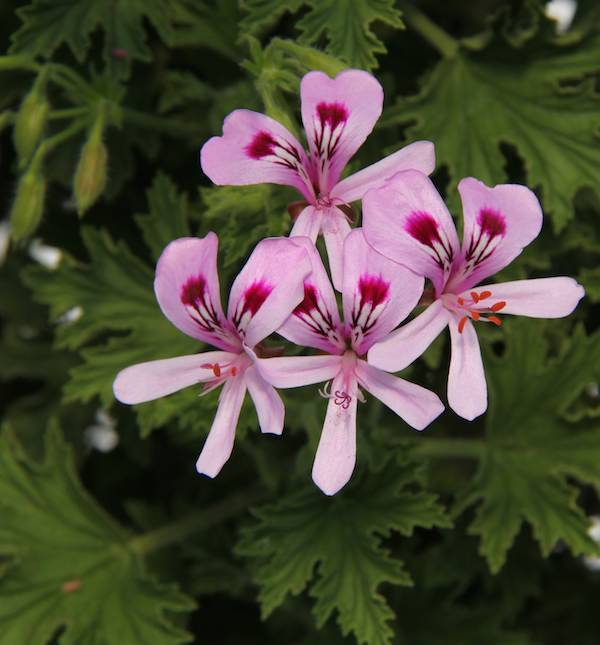 live plants citronella geranium pelargonium perennials. Black Bedroom Furniture Sets. Home Design Ideas