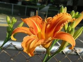 10 WILD DAYLILY fans/root systems  image 3