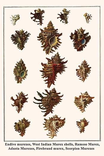 Endive murexes, West Indian Murex shells, Ramose Murex, Adusta Murexes, Firebran - $19.99 - $179.99